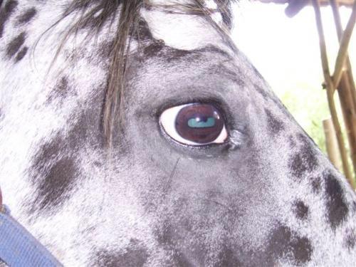sclera-bianca-appaloosa