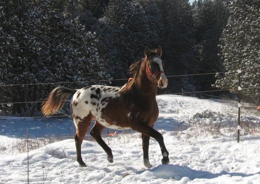 appaloosa-stallion-horse