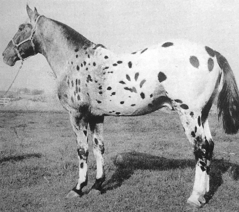 Chief Handprint stallone appaloosa