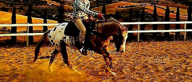 Diamond ice Stallone Appaloosa campo 2