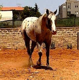 Diamond ice Stallone Appaloosa campo 3