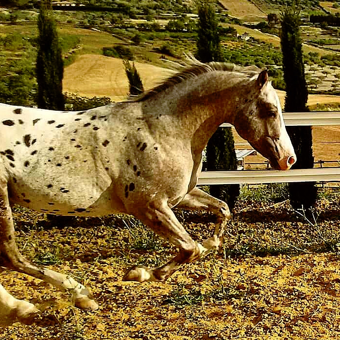Diamond ice Stallone Appaloosa campo 4
