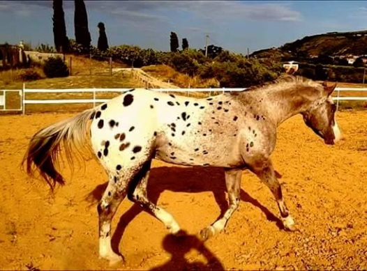 Diamond ice Stallone Appaloosa campo