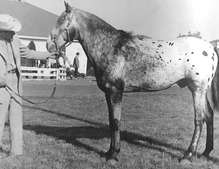 Toby II stallone appaloosa shown by george hatley