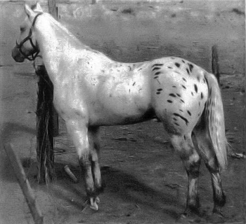painter III ottavo stallone appaloosa registrato
