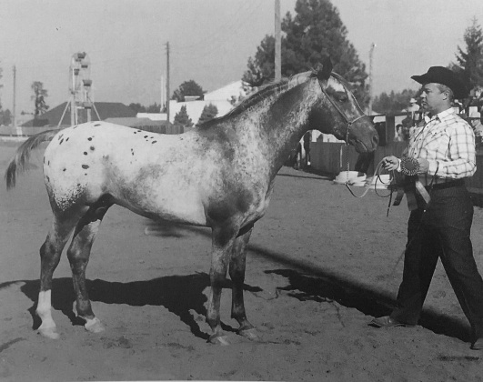 Red Eagle stallone appaloosa 1946