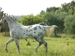 stallone appaloosa-okeo-leo-cast 3