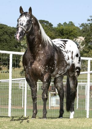 kingodreams appaloosa stallion