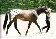 stallone appaloosa Silence Secret Blue a terra
