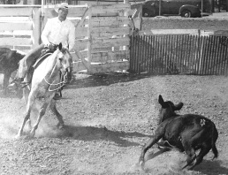 Castrone appaloosa Flake figlio di Apache fu campione di cutting nel 1959