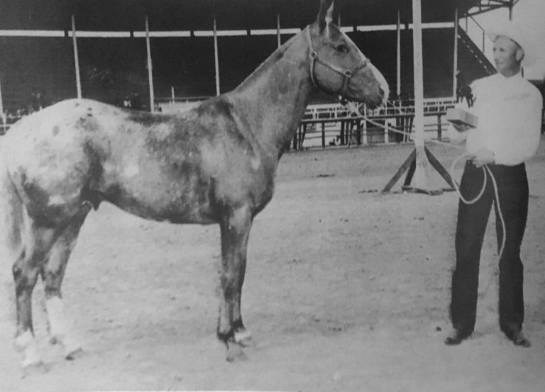 Stallone appaloosa Apache nominato Grand Champion 1954