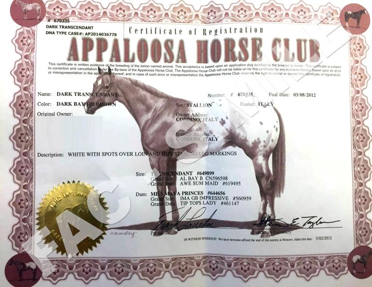 stallone-appaloosa-halter-nero-Dark-Trascendant-certificato