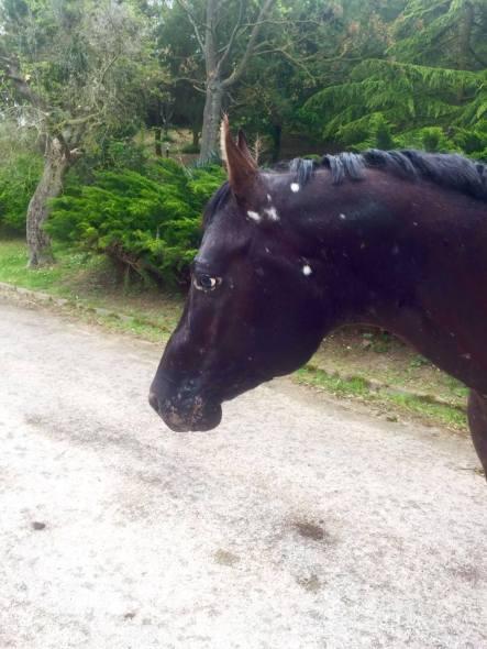 stallone appaloosa halter nero Dark Trascendant testa profilo