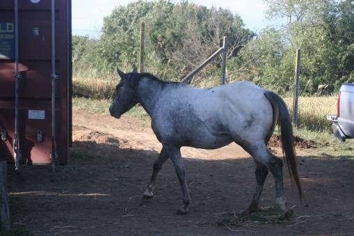 Charger Bar May stallone appaloosa fianco sinistro