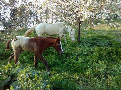 Puledro Appaloosa 2016 WILLBILL con GREY ROSE la mamma
