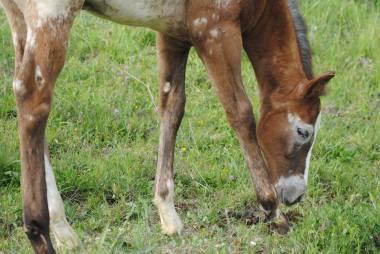 Puledro Appaloosa 2016 WILLBILL occhio destro pascola