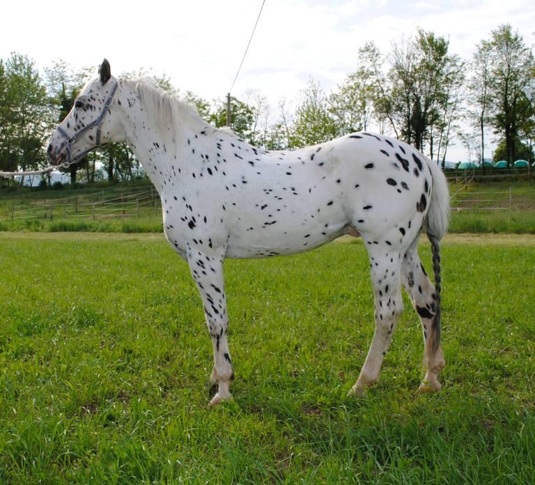 stallone appaloosa Impressive Chateros profilo sinistro