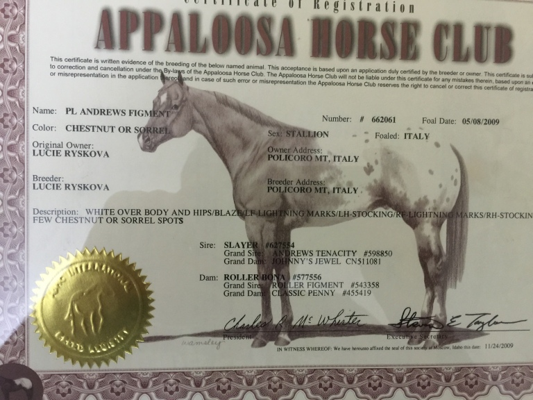 Stallone appaloosa Pl Andrews Figment certificato