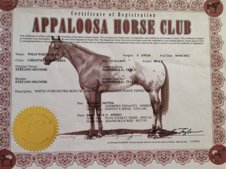 Stallone Appaloosa Wild White Blue certificato