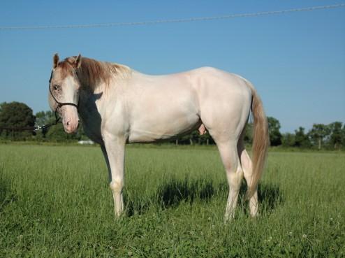 Stallone Appaloosa Wild White Blue
