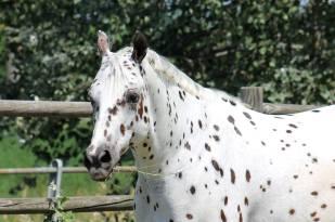 Hello Kissy Secret, Appaloosa Leopard