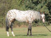 stallone-appaloosa-reining-boemil-twin-topleus