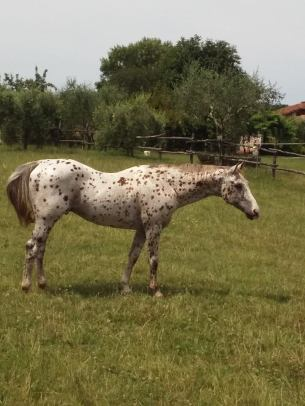 stallone-appaloosa-reining-topsail-speckles-prato
