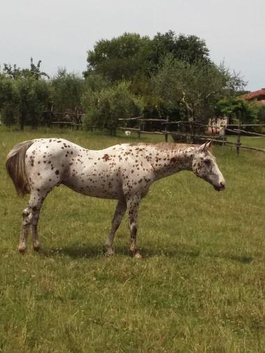 stallone-appaloosa-reining-topsail-speckles-prato
