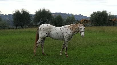 stallone-appaloosa-reining-topsail-speckles