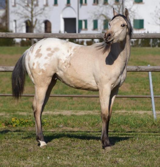 poker_classy_yella_appaloosa_horses_stallion_copertina