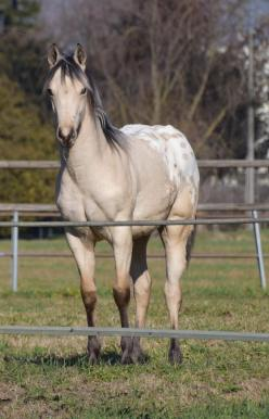 poker_classy_yella_appaloosa_horses_stallion_front
