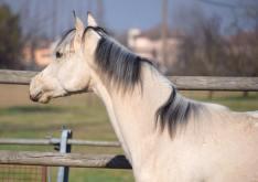 poker_classy_yella_appaloosa_horses_stallion_head
