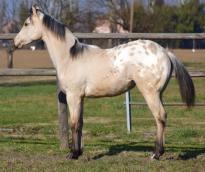 poker_classy_yella_appaloosa_horses_stallion_left