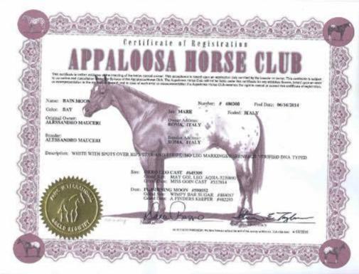 puledra-appalloosa-2014-rain-moon-baia-con-coperta-certificato