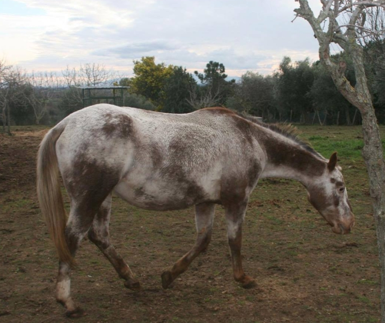 FATTRICE APPALOOSA ANGEL MOON VIP