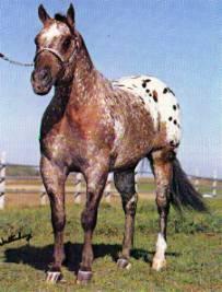 ABDULLS POK A SON* b blkt 15.0 1971 APPALOOSA ApHC-143460