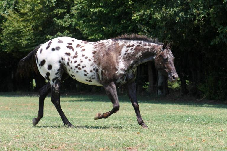 IMA GOOD PLAY appaloosa mare fattrice color