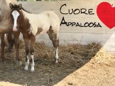 puledro-appaloosa-ca-geco-robospot-baio-snowcap-reining profilo sinistro
