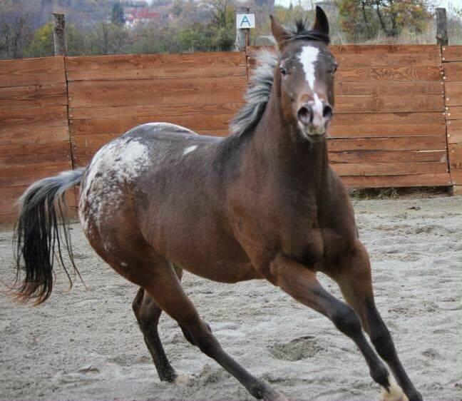 SLEEM-KEEPER-OF-WOODS-Stallion-Appaloosa-Bay-Blanket-Front