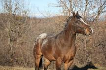 SLEEM-KEEPER-OF-WOODS-Stallion-Appaloosa-Bay-Blanket