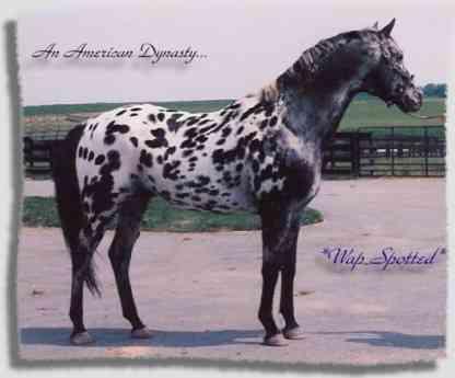 wapspotted-stallone-appaloosa