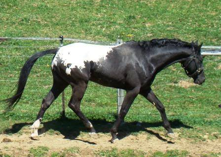 WAPUZZAN-Stallone-Appaloosa-Black-Blanket-Trott