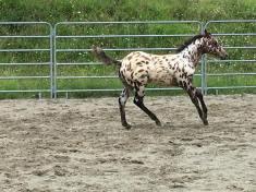 puledra-appaloosa-leopard-in-vendita-galoppo