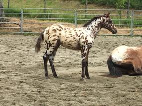 puledra-appaloosa-leopard-in-vendita-right