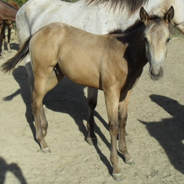 mighty-robotop-appaloosa-colt-reining-5