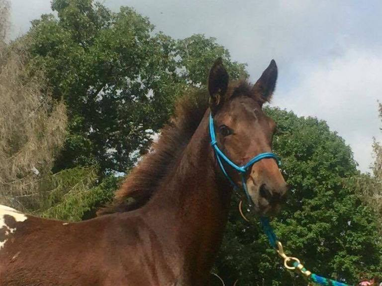 wapzziena-2016-dark-bay-appaloosa-filly