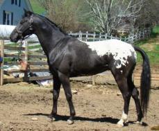 wapuzzan black sport appaloosa stallion...