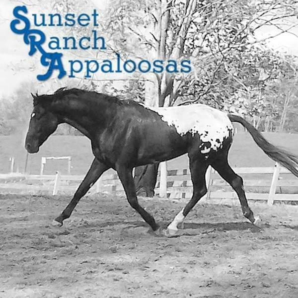 sunset-ranch-appaloosas-breeding.png