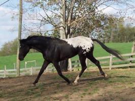 wapuzzan black sport appaloosa stallion-