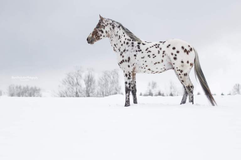 SPIRIT-LIL-JUSTIN-Appaloosa-Leopard-Stallion-1